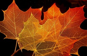512px-Maple_leaf_structure